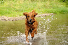 Free Running Dog Royalty Free Stock Images - 21151979