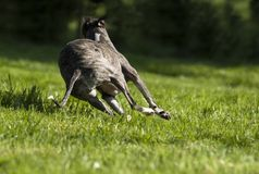 Running dog. The whippet running away from Stock Images