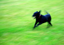 Running dog. Blurry picture of dog running Royalty Free Stock Photo
