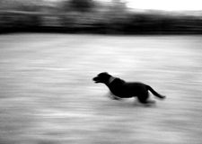 Running dog. Blurry picture of dog running Royalty Free Stock Photography
