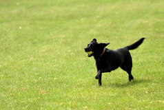 Running dog. Dog running with ball in mouth Royalty Free Stock Photos