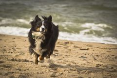 Running Dog. A dog running on the beach Stock Photo
