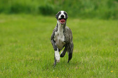 Running dog. The brindle whippet puppy running royalty free stock photos