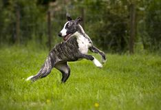 Running dog. The brindle whippet puppy running Royalty Free Stock Photography