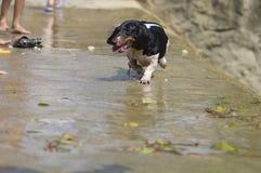 Running dog. The dog run in the dam Stock Image