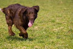 Running dog. With an outstretched tongue Stock Images