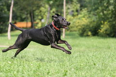 Running dog. Black running dog on grass Stock Image