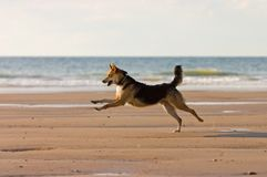 Happy dog running on the beach Royalty Free Stock Photography