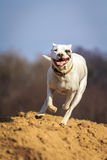 Running dog. Dogo argentino running very fast on the sand Royalty Free Stock Photo