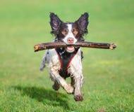 Free Running Dog Royalty Free Stock Images - 42341789