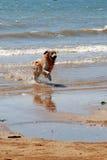 Running dog. Dog running along the beach royalty free stock photos