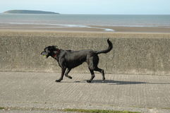 Running dog. Dog running along the sea front with a ball in mouth Royalty Free Stock Photo