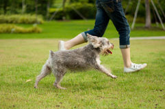 Running Dog. Dog running beside owner in a park setting Stock Image