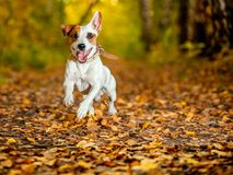 Dog at autumn. Jack russell. Running dog at autumn. Jumping fun and happy pet walking outdoors royalty free stock image