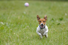 Running dog for a ball Stock Photos