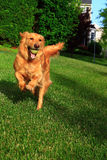 Running Dog. Running golden retriever dog with tennis ball at backyard lawn, concept for pet care or powerful, energetic, loyalty or sports Stock Image