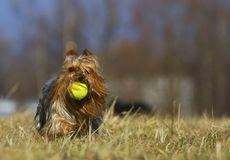 Running dog with balloon Stock Image
