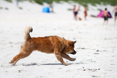Running dog at the beach Royalty Free Stock Photo