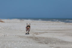 Running dog on the beach holding a ball Royalty Free Stock Photography