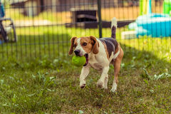 Running dog Beagle Stock Photo
