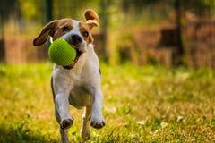Running dog Beagle. Beagle dog running with a ball outdoor stock photography