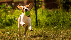 Running dog Beagle Royalty Free Stock Image