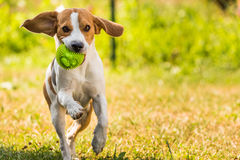 Running dog Beagle in a garden royalty free stock image
