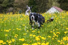 Running dog (border collie) in spring meadow Stock Images
