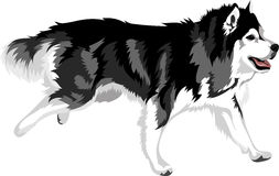 Running dog of breed malamute. Vector illustration - running dog of breed malamute Royalty Free Stock Images