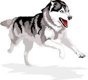 Running dog. Breed Siberian Husky Royalty Free Stock Image