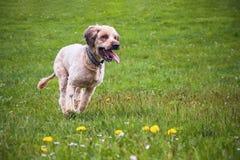 Running dog briard Stock Photography