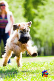 Running dog catch ball Royalty Free Stock Photos