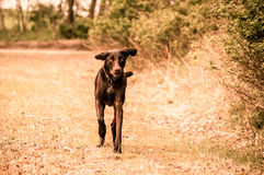 Running dog. Cute dog running on a field in vintage look Royalty Free Stock Photo