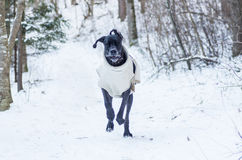 Great Dane in the forest Royalty Free Stock Photos