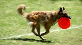 Running dog with frisbee Stock Images