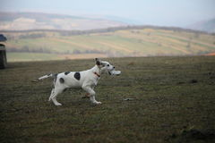 Running Dog With Garbage. Dog is running with garbage at meadows Royalty Free Stock Images