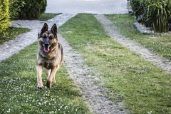 Running dog - german shepherd Royalty Free Stock Images