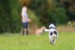 Running dog with a girl in the background royalty free stock images