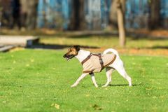 Running dog on grass Stock Images