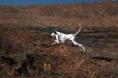 Running dog in grassland-1 Stock Photo