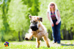 Running dog on green grass. And ball (Irish soft coated wheaten terrier Royalty Free Stock Photo