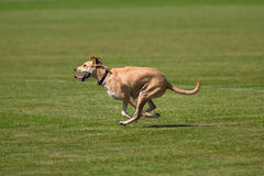 Running dog Stock Image