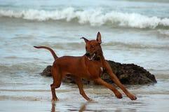 Running dog having fun Stock Images