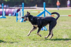 Running dog on its course in agility competition. Abstract dog sport background with copy space royalty free stock photo