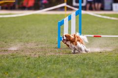 Running dog on its course in agility competition. Abstract dog sport background with copy space stock photo