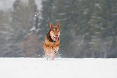 Running Dog Royalty Free Stock Photos