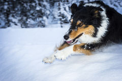 Running dog jumps over snow hump Royalty Free Stock Photos