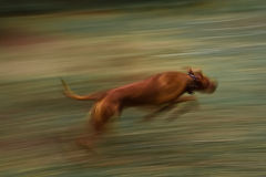 Running dog. long exposure. Rhodesian Ridgeback Stock Photography