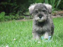 Running DOG Miniature Schnauzer 1. DOG - the Miniature Schnauzer, little puppy dog running in Sierpc stock images