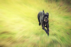 Great Dane running. Great Dane dog running with motion blur Stock Images